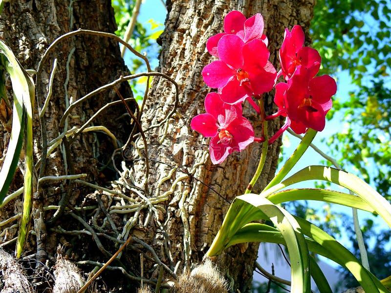 Rote Orchidee im Garten stockbilder