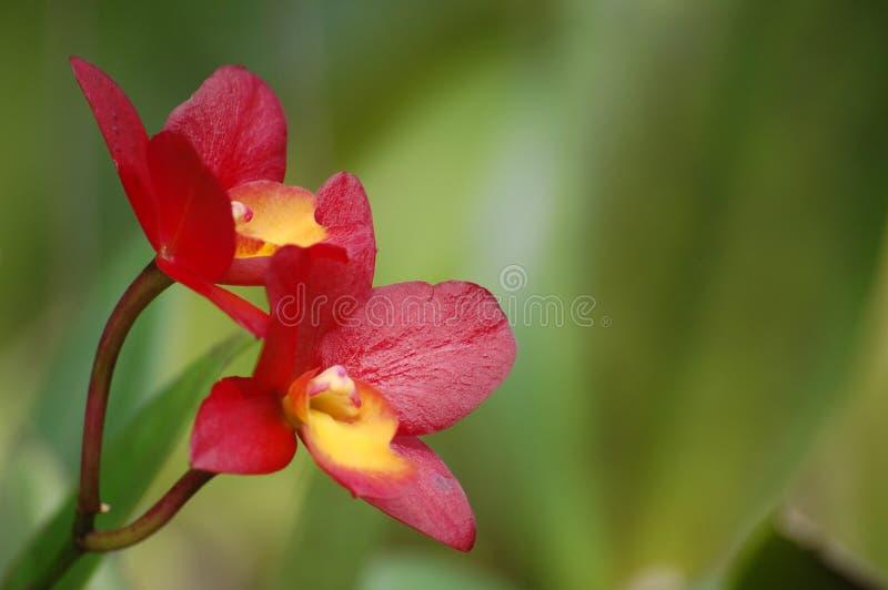 Rote Orchideen lizenzfreie stockfotos