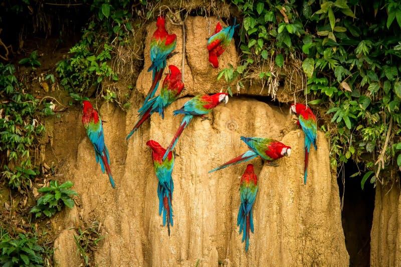 Rote Papageien auf Lehm lecken das Essen Mineralien, Roten und Grünen Keilschwanzsittichs im tropischen Wald, Brasilien, Szene de lizenzfreie stockbilder