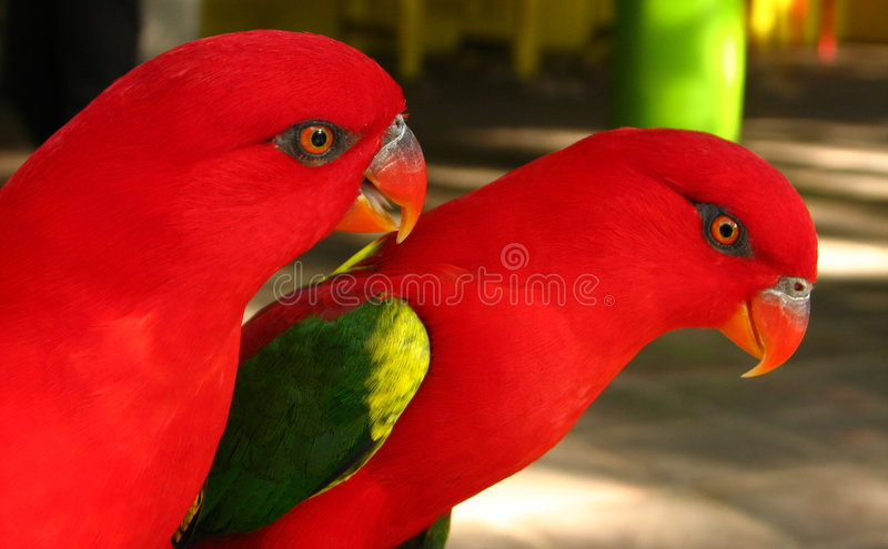 Rote Papageien-Paare stockbild