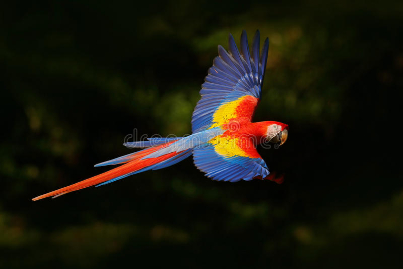 Rote Papageienfliege in der dunkelgrünen Vegetation Scharlachrot des Keilschwanzsittich-, Aronstäbe Macao, im tropischen Wald, Co stockbild