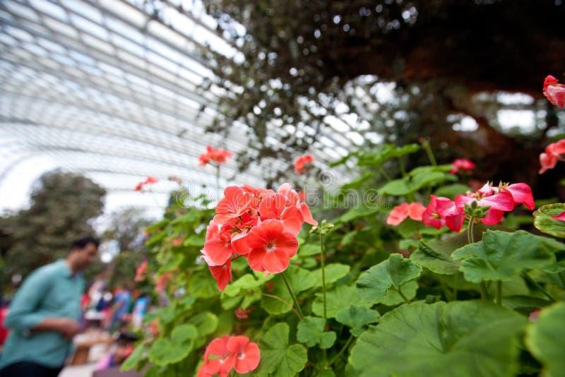 Rote Pelargonie in der Blumenanzeige von Gärten durch die Bucht, SINGAPUR stockbilder