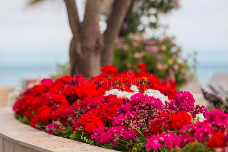 Rote Pelargonie der Gartenpelargonie auf Blumenbeet horizontal Selektiver Fokus stockfotos