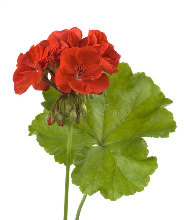 Rote Pelargonie mit dem Blatt getrennt stockbilder