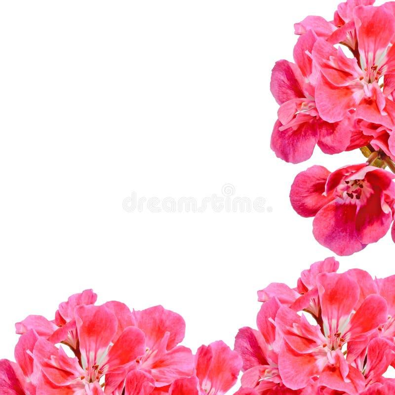 Rote Pelargonie, Pelargonien blüht mit den Knospen, Abschluss oben, Beschaffenheitshintergrund lizenzfreie stockfotografie