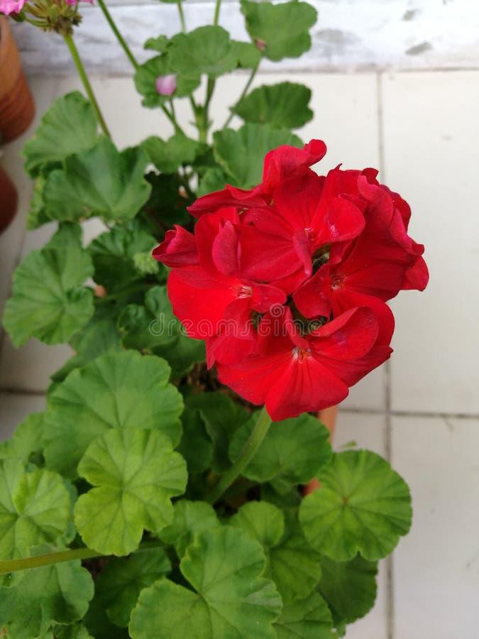 Rote Pelargonieblumen lizenzfreies stockbild
