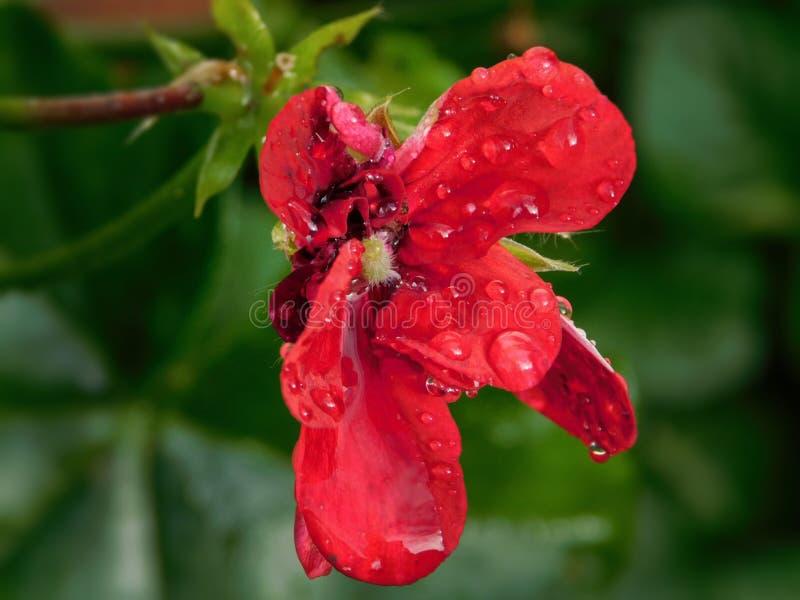Rote Pelargonienblume mit Gleiskettenfahrzeug und Regentropfen lizenzfreies stockfoto