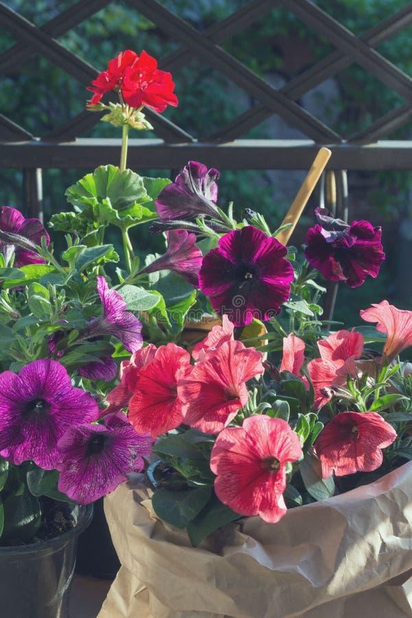 Rote Pelargonienblume und Rosa und purpurrote Petunienblumen auf dem Balkon in der Glättungssonne lizenzfreie stockfotos