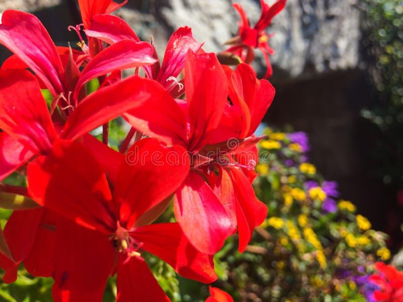 Rote Pelargonienblumen im Sommer lizenzfreie stockbilder