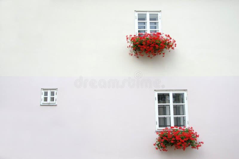 Rote Pelargonienefeupelargonie in zwei unterschiedlich sortierte Fenster mit weißer Wand lizenzfreies stockfoto