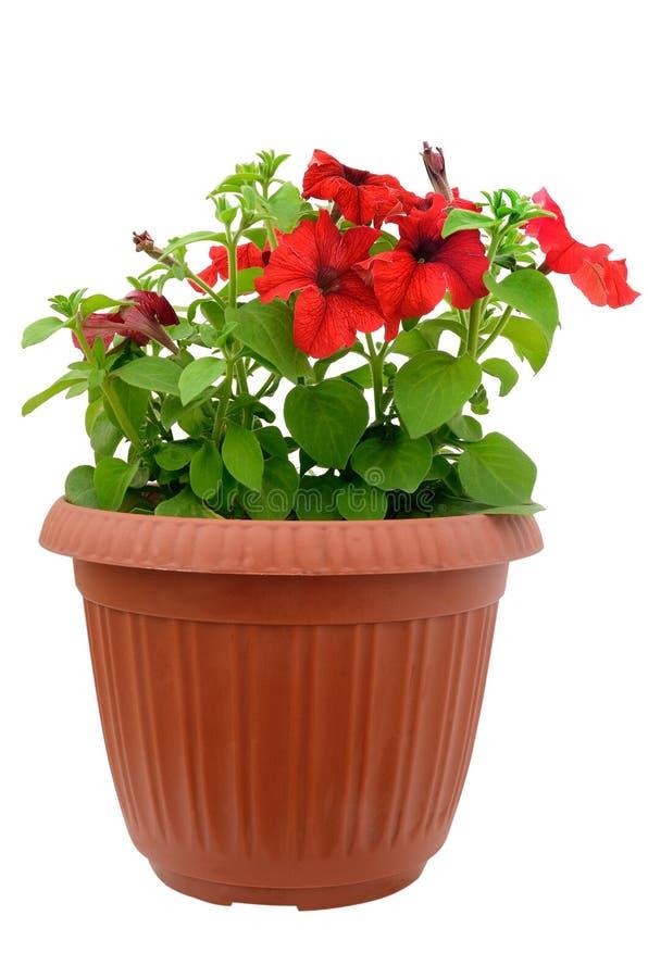 Rote Petunie in einem Flowerpot lizenzfreie stockbilder