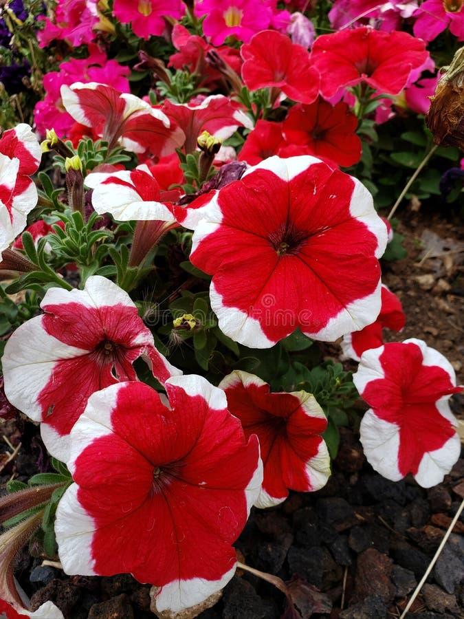 rote Petunienblume mit weißem Rand in einer Jahreszeit des Gartens im Frühjahr lizenzfreie stockbilder
