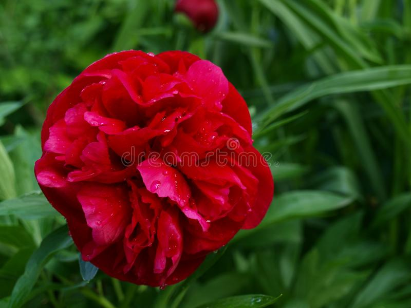 Rote Pfingstrose im Garten mit Tropfen des Taus lizenzfreie stockfotografie