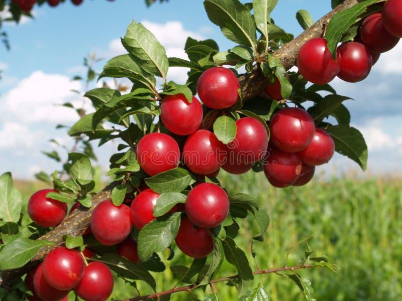 Rote Pflaumen auf Baum stockbild