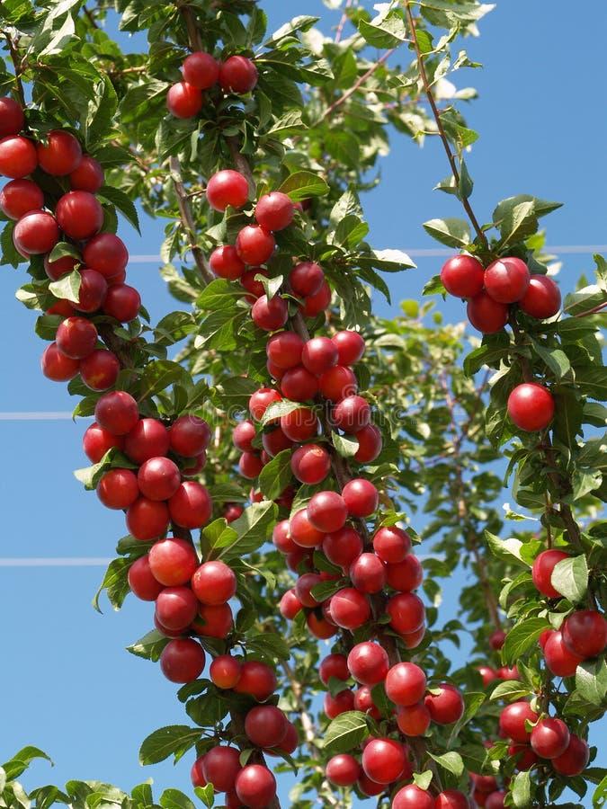 Rote Pflaumen auf Baum lizenzfreie stockbilder