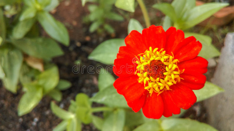Rote pinkfarbene Blumen im Garten lizenzfreies stockfoto