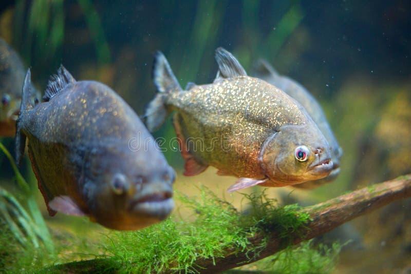 Rote Piranha lizenzfreie stockfotos