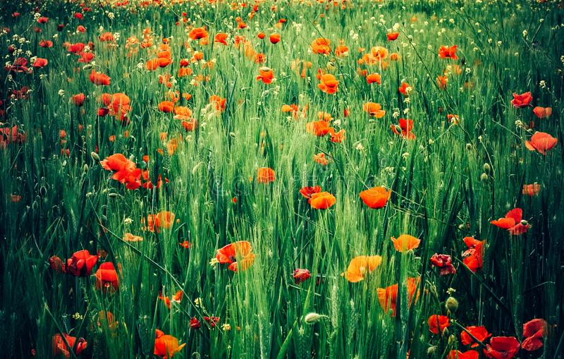 Rote Poppy Flowers für Erinnerungs-Tag lizenzfreies stockfoto