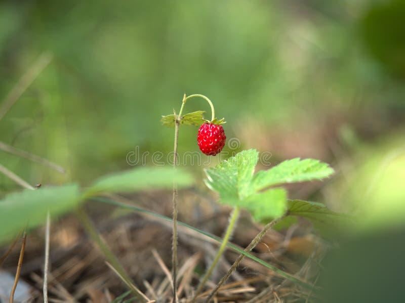 Rote reife Beere der Erdbeere lizenzfreies stockfoto