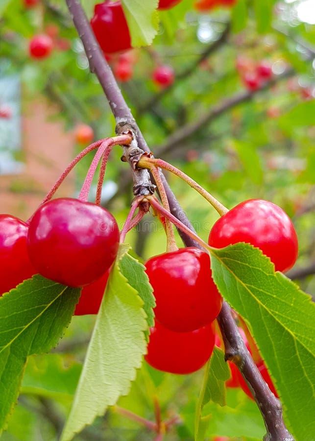Rote reife Kirschfrucht auf einem Baumast mit grünen Blättern stockfotografie