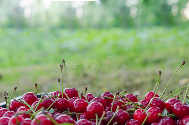 Rote reife Sauerkirsche stockbild