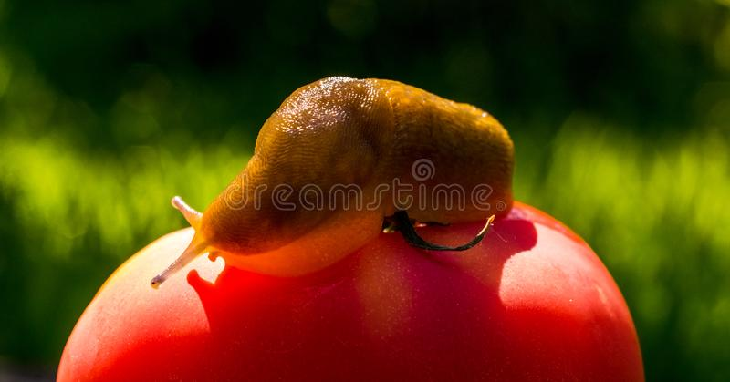 Rote reife Tomate und große Schnecke Biologisches Lebensmittel Gemüsegarten des Sommers stockbild