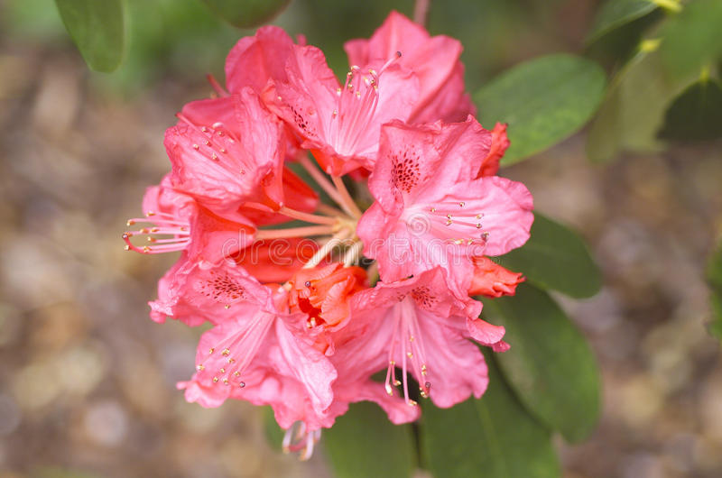 Rote Rhododendron-Blume lizenzfreies stockbild
