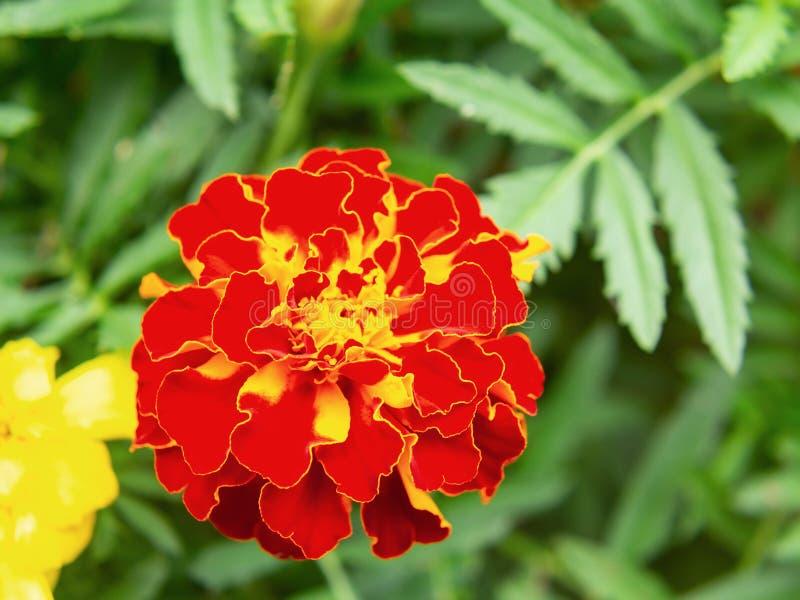 Rote Ringelblume in einem Blumenbeet im Garten, Nahaufnahme lizenzfreies stockbild