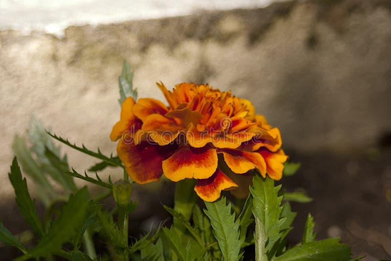 Rote Ringelblume Tagetes lizenzfreies stockbild