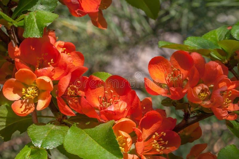 Rote rosa orange Blumen des blühenden blühenden Chaenomeles Japane stockfotografie