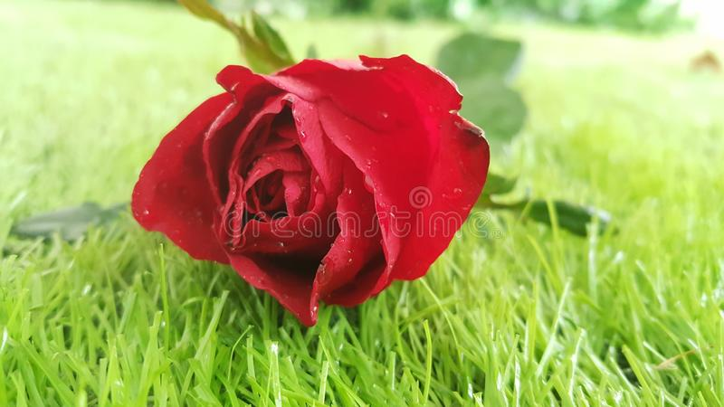 Rote rosafarbene Blume auf Hintergrund des grünen Grases für Valentinsgrußtag oder -Hochzeit stockbild