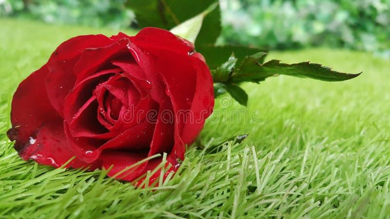 Rote rosafarbene Blume auf Hintergrund des grünen Grases für Valentinsgrußtag oder -Hochzeit lizenzfreie stockfotografie