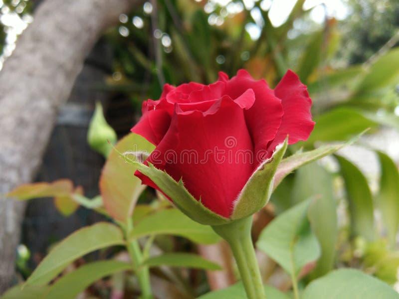 Rote rosafarbene Blume der Blüte lizenzfreie stockfotos