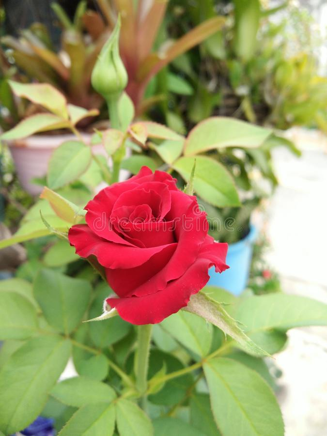 Rote rosafarbene Blume der Blüte stockfoto