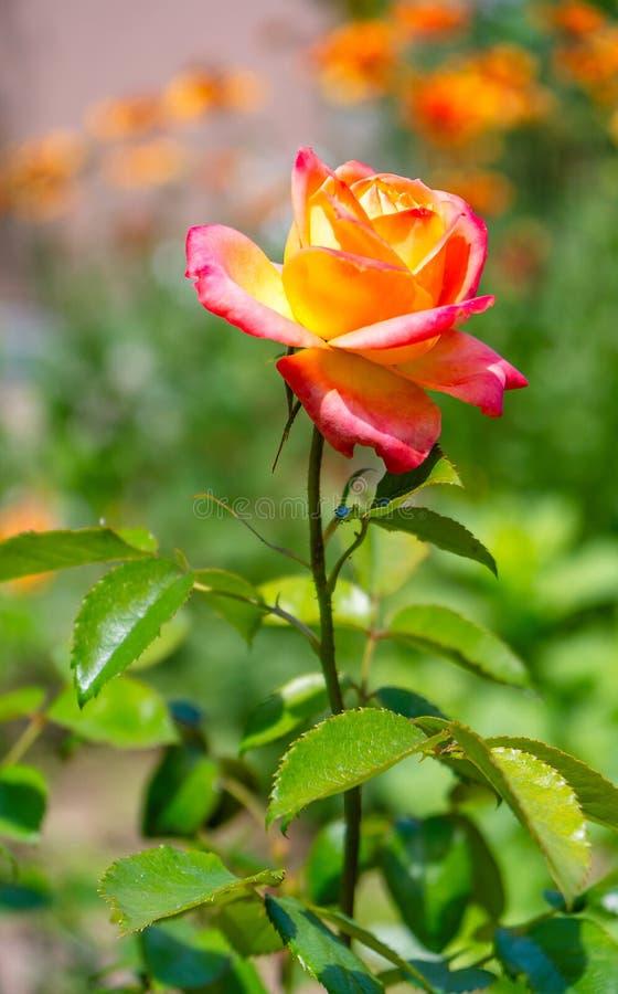 Rote rosafarbene Blume, die im Rosengarten auf Blumen der roten Rosen des Hintergrundes blüht lizenzfreies stockbild