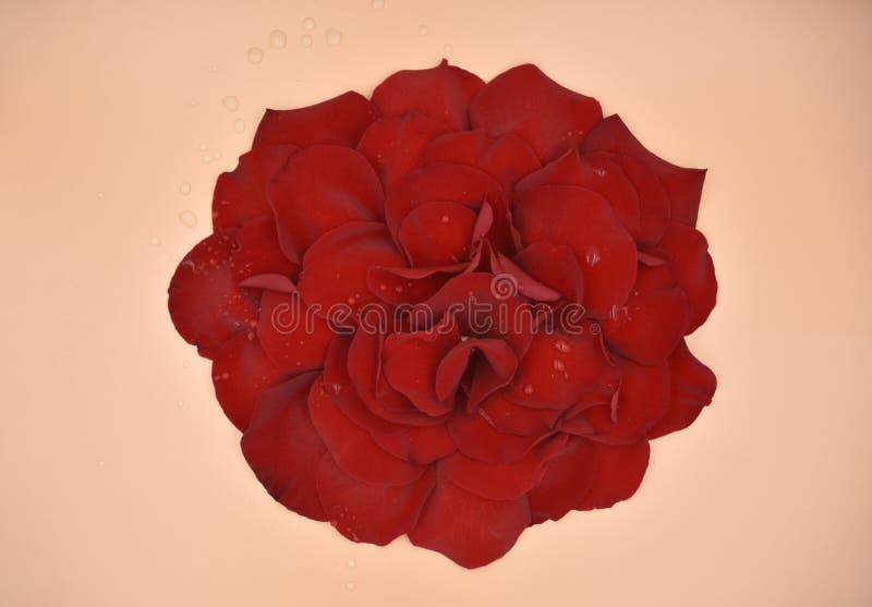 Rote rosafarbene Blumenblätter in einer großen Blume mit Wassertropfen als Tau auf den Blumenblättern und korallenroten festen Hi lizenzfreie stockfotos
