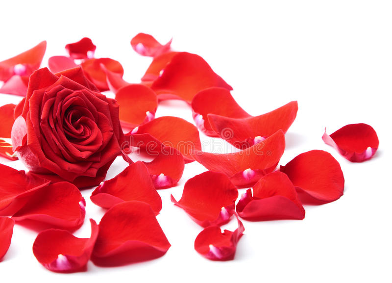 Rote rosafarbene Blumenblätter getrennt lizenzfreies stockbild