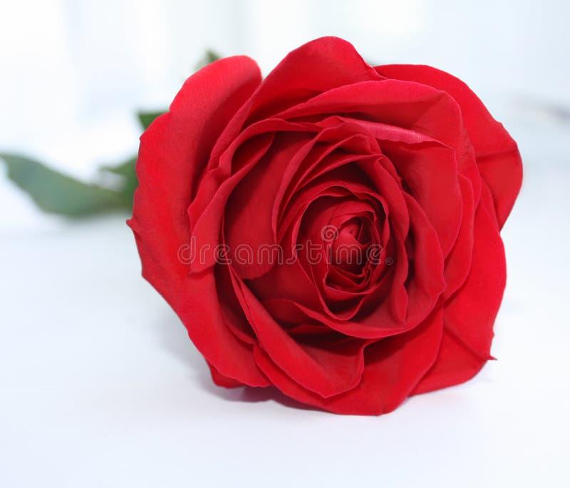 Rote Rose stockfoto