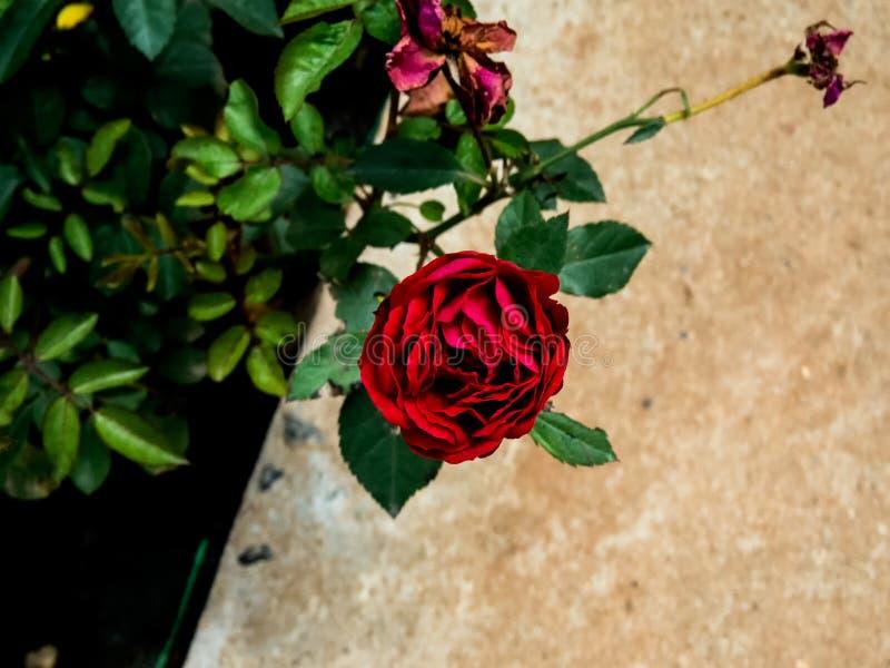 Rote Rose auf Anlage in einem Garten stockbilder