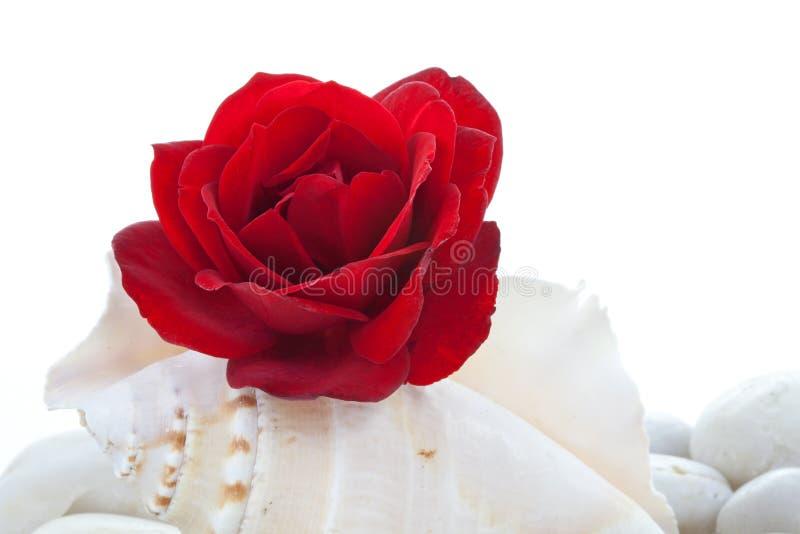Rote Rose auf Seeshell stockfotos