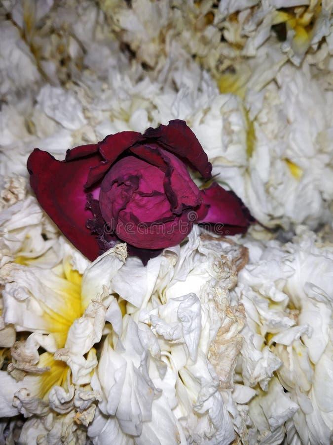 Rote Rose bedeutet Liebe stockfotos