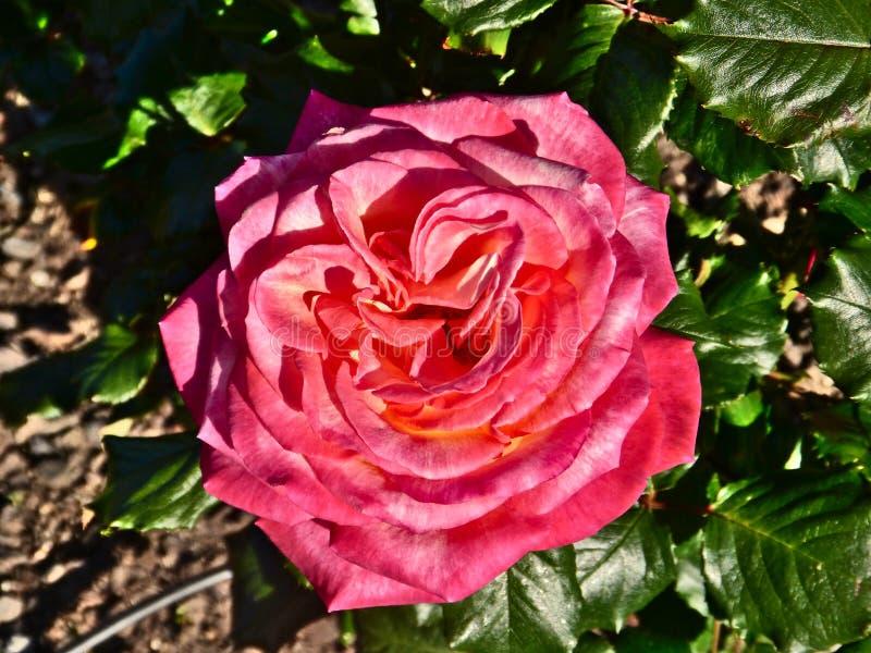 Rote Rose bei Parnell Rose Garden, Auckland, Neuseeland stockfotos