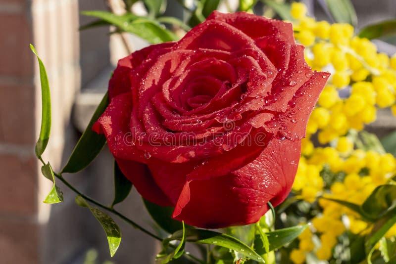 Rote Rose für den Tag der Frauen lizenzfreies stockbild