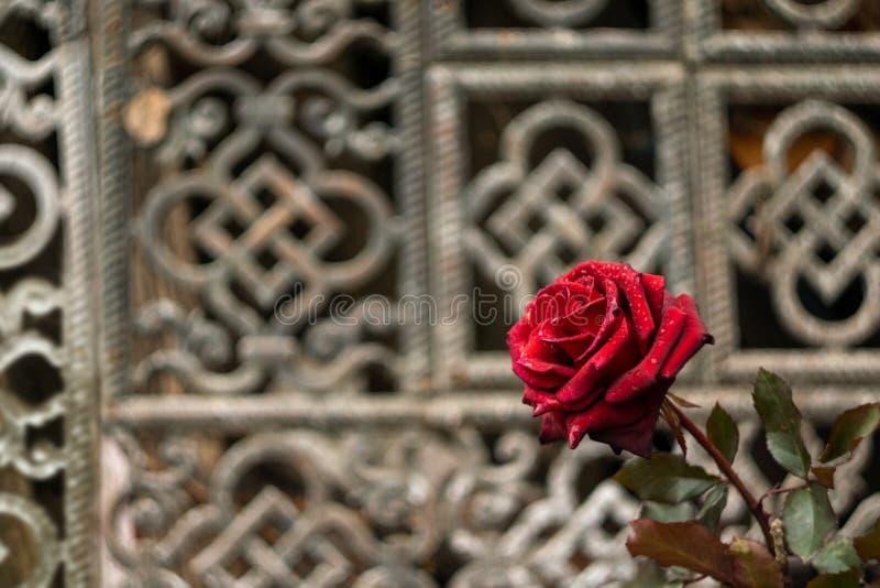 Rote Rose im Garten vor dem hintergrund eines kopierten Gitters mit orientalischer Verzierung stockfotografie