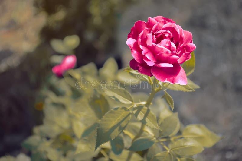Rote Rose im harten Sonnenlicht stockbilder