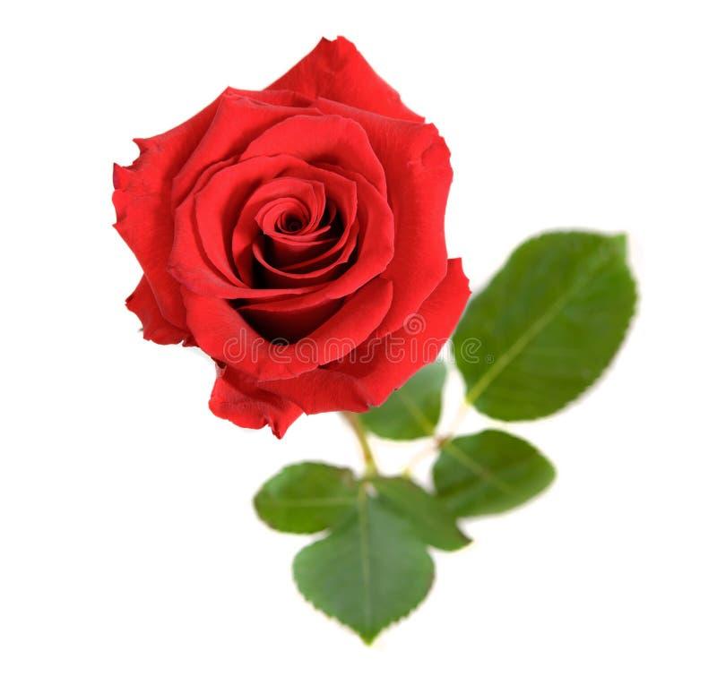 Rote Rose Isolated auf weiß- Draufsicht lizenzfreies stockbild