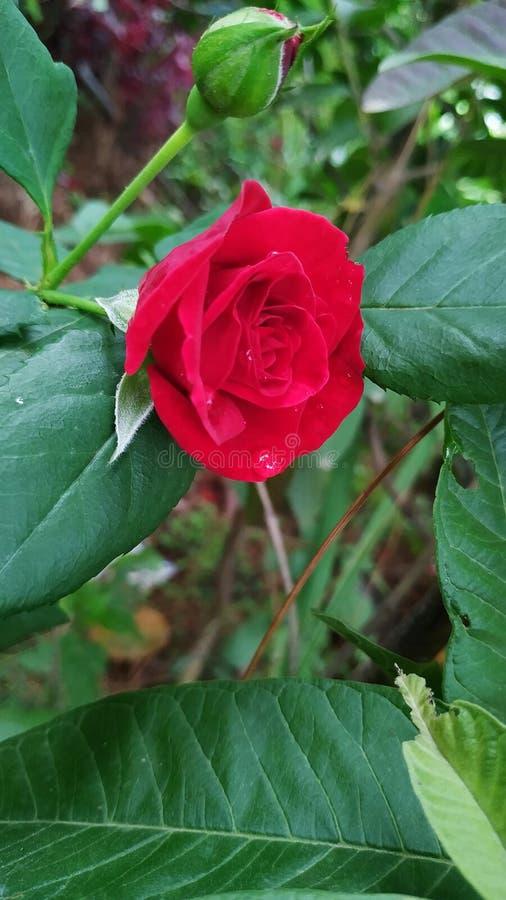 Rote Rose mit heller Farbe stockbild