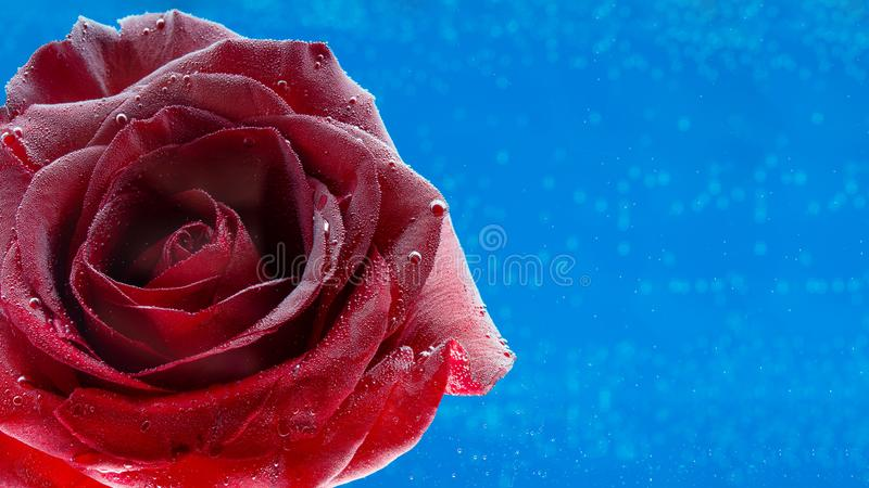 Rote Rose mit Wassertropfen in der Nähe, Makro auf blauem Hintergrund Unterwasser Geburtstag oder Valentinstag Kunstfoto stockfotografie