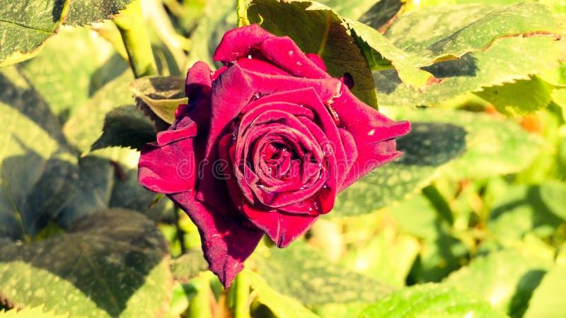 Rote Rose und Tröpfchen vom Herzen lizenzfreie stockbilder