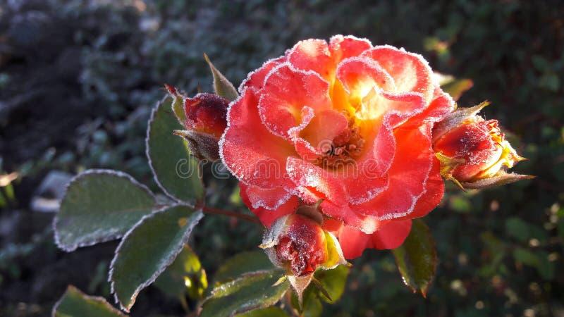 Rote Rose unter Hoar-fros Gefrorene Blume Schöner rosa gefrorener Blumenspätherbst lizenzfreie stockfotografie